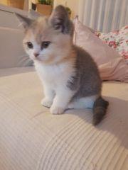 BKH Kitten in sonderfarben
