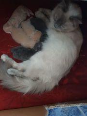 Ragdoll-BKH Mix Kitten