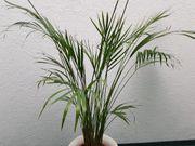 PALME Klivie - dekorativ