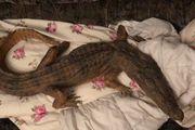 Verkaufe ein Krokodil Präparat auf