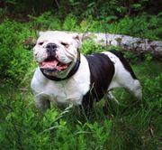 Englische Bulldogge New Hündin