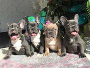 Unsere Französische Bulldogge-Welpen abzugeben geschippt