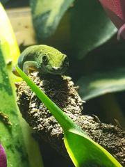 Himmelblauer Zwergtaggecko - Lygodactylus williamsi inkl
