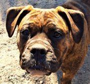 OEB Olde English Bulldog Welpen