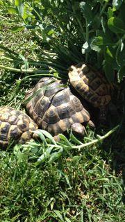 Suche eine weibliche Landschildkröte kein