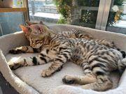 Reinrassige Bengal Kitten Baby Katze