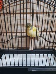 Feif Kanarienvögel und Mischlinge