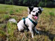Chihuahua Deckrüde Husky Farbe kein