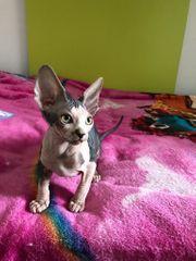 Kleines Kitten weiblich sucht ein