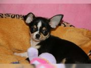 Chihuahua Welpen mit VDH-Papieren