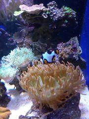 Meerwasser Clownfische Percula