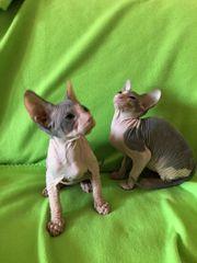 Kleine Kitten Don Sphynx