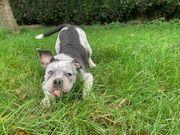 old Englische bulldogge