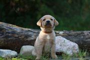 Top Labrador Welpen mit Ahnentafel