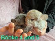 chinchilla Böcke