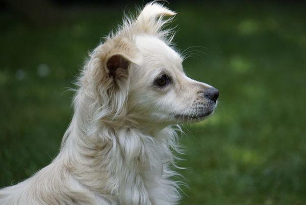 Hund Mischlingshündin Chihuahua Papillon