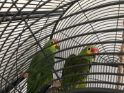 Amazonas Papagei