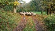 Schafe Heidschnucken