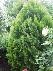 Gartenzypresse