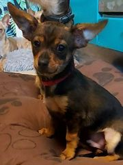 Chihuahua-yorkie welpe