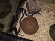 Afrikanische Hausschlange mit Terrarium und