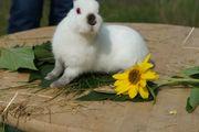 Kaninchen Farbenzwerge russenfarbig