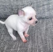 verkaufe Chihuahua