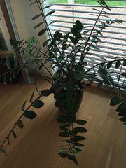 verschenken glücksfeder pflanze