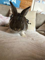 Kaninchen Männlich