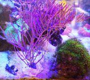 Gorgonie Meerwasser Koralle Ableger XL