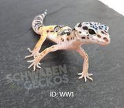 Leopardgeckos Wildfarben Zorro Bandit Designer