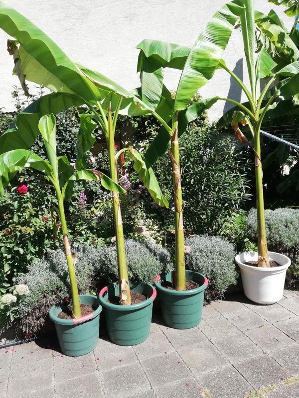Bananen Palmen