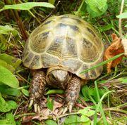 Zwei Vierzehenlandschildkröten männlich - Testudo horsfieldii