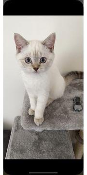 Kitten BKH weiblich