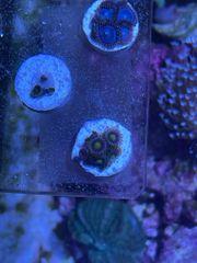 Korallen Zoanthus Kupferanemone