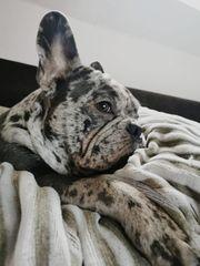 Franzosische Bulldogge In Overath Hunde Kaufen Verkaufen Auf Quoka De