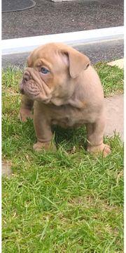 Englische bulldogge New English Bulldog