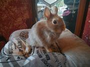 Mini Löffel Ohr Zwerge Kaninchen