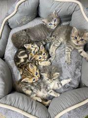 Sehr schöne BKH Kitten