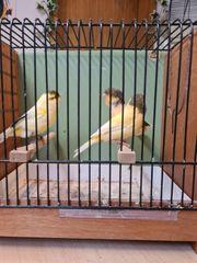 gescheckte Kanarienvögel