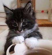 Typvolle MaineCoon Kitten suchen ein