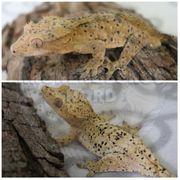 Junges Superdalmatiner Männchen Kronengecko C