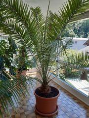 palme kanarische dattelpalme