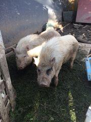2 Mini Schweine