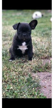 Süße französische Bulldoggen babys