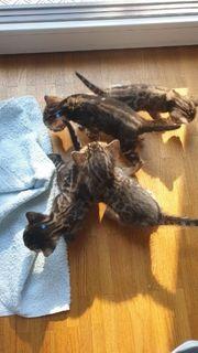 Kätzchen Kitten Babykatzen Stammbaum Bengal