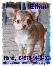 Zauberhafter Chihuahua Welpe