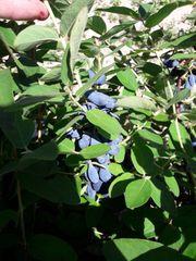 Maibeeren blaue Honigbeeren - Früchte zu
