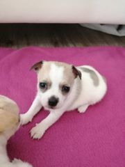 wunderschöne Chihuahua Mix welpen