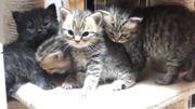 Kittenprincess hat Nachwuchs - Wunderschöne Britenbärchen